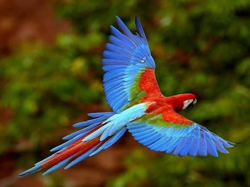 arara colorida