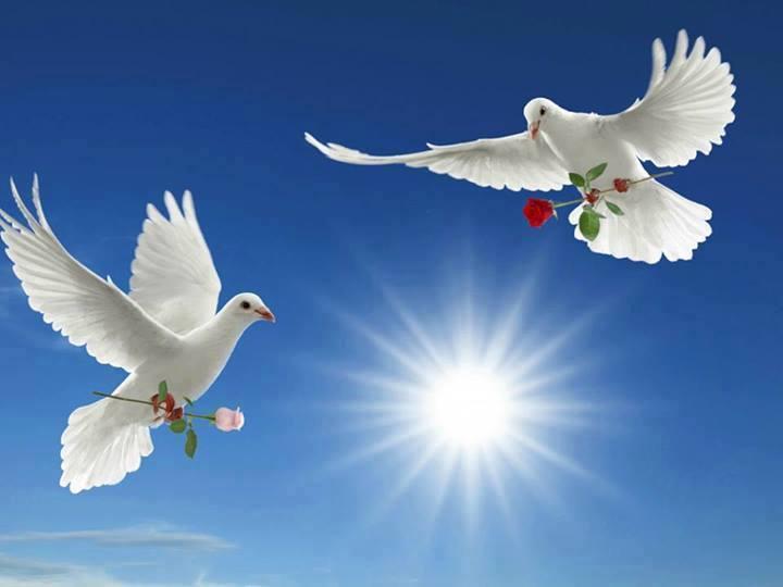 pombas brancas e rosas